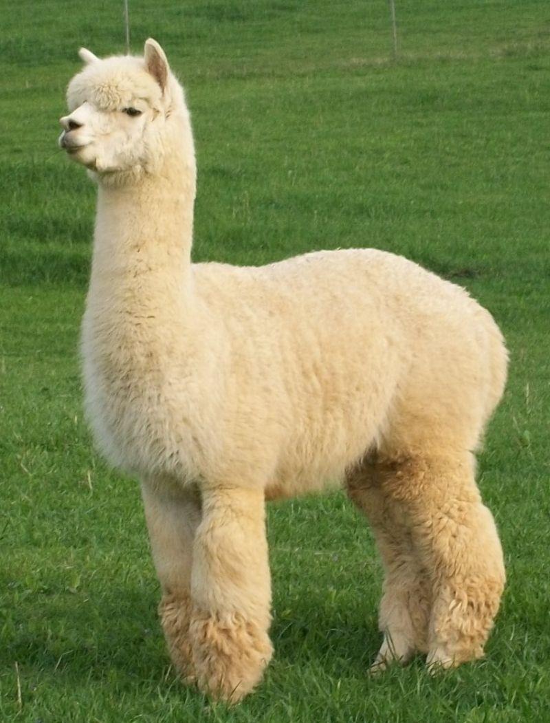 Alpaca Breeding - Lord Tennyson